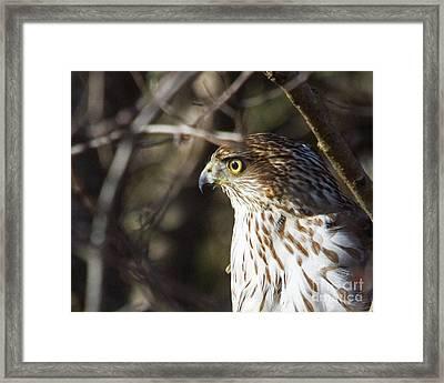 Intense Hawk Framed Print by Lloyd Alexander