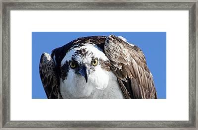 Intense - Osprey Framed Print
