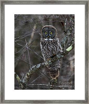 Intensity - Great Gray Owl Framed Print by Lloyd Alexander