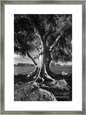 Intercoastal Pine Framed Print