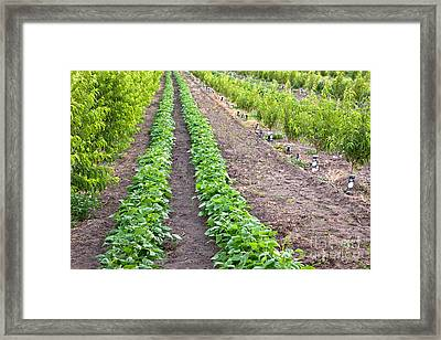 Intercropped Trees And Beans Framed Print
