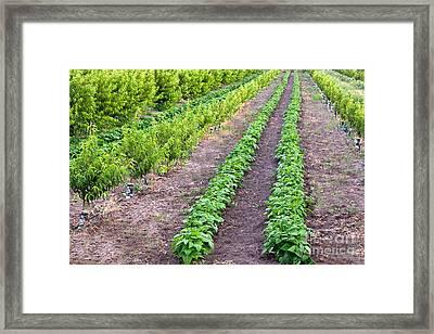 Intercropping Framed Print
