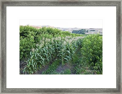 Intercropping Of Corn And Peaches Framed Print