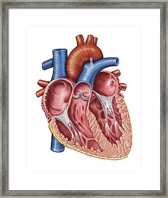 Interior Of Human Heart Framed Print by Stocktrek Images