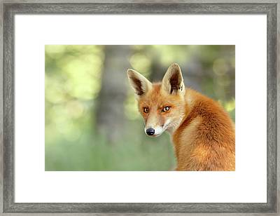 Into Your Soul - Red Fox Looking Over Her Shoulder Framed Print