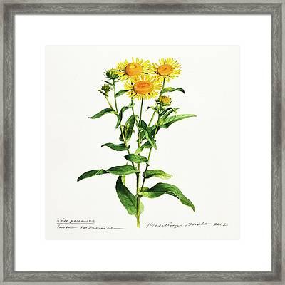 Inula Framed Print