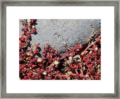 Invasion - Common Ice Plant Framed Print