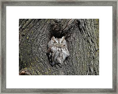 Invincible Screech Owl Framed Print