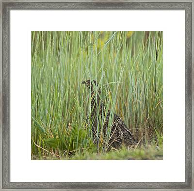 Invisible Female Spruce Grouse Framed Print by Daniel Hebard
