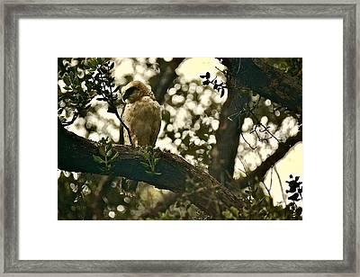 Io - Hawaiian Hawk Framed Print