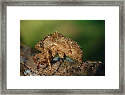 Iowa Cicada Framed Print by Jame Hayes