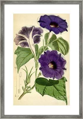 Ipomoea Nil Framed Print by Joseph Dalton Hooker