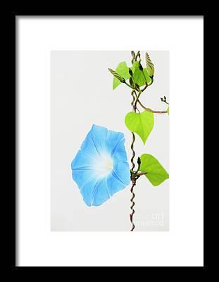 Convolvulaceae Framed Prints