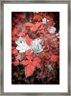 Ir Rose  Framed Print
