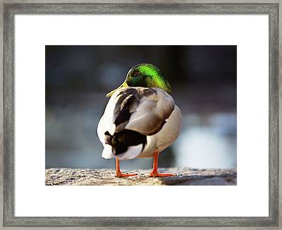 Framed Print featuring the photograph Iridescense by Sue Collura