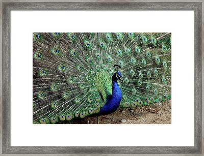 Iridescent Blue-green Peacock Framed Print