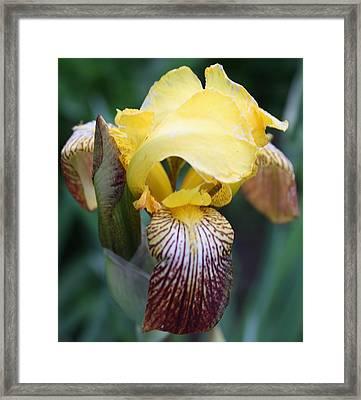 Iris 2 Framed Print by Bruce Bley