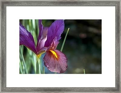 Iris 2 Framed Print by Mark Platt