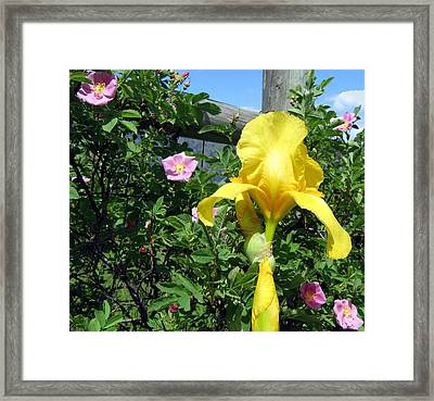 Iris And Wild Roses Framed Print by Will Borden