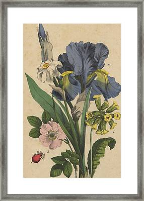 Iris Cowslip Rose Primrose Framed Print by German Botanical Artist