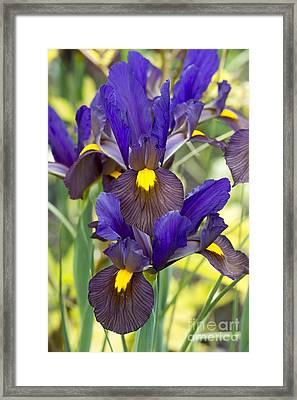 Iris Eye Of The Tiger Framed Print by Tim Gainey