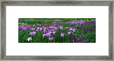 Iris Garden Nara Japan Framed Print