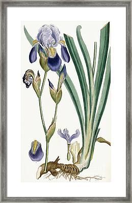 Iris Germanica Framed Print by Ferdinand Bauer