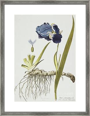 Iris Germanica Framed Print by Joseph Jacob Plenck