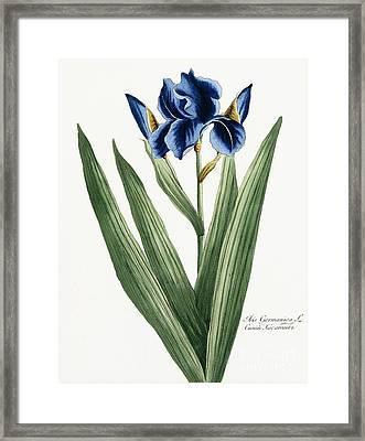 Iris Germanica Framed Print by Russian School