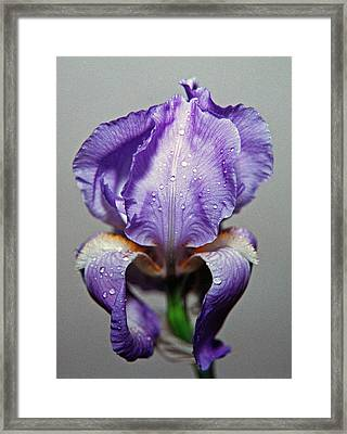Iris In The Rain Framed Print by Paul  Trunk