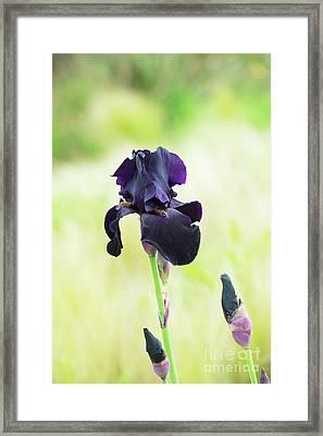 Iris Interpol Framed Print by Tim Gainey