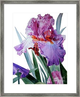 Watercolor Of A Tall Bearded Iris In Pink, Lilac And Red I Call Iris Pavarotti Framed Print