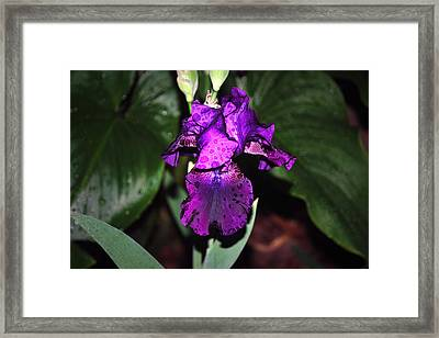 Iris Framed Print by M Ryan