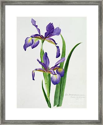 Iris Monspur Framed Print