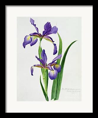 Purple Irises Framed Prints
