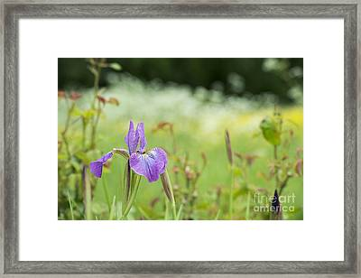 Iris Sibirica Sparkling Rose Framed Print