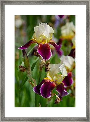 Iris Spring Framed Print by Karon Melillo DeVega