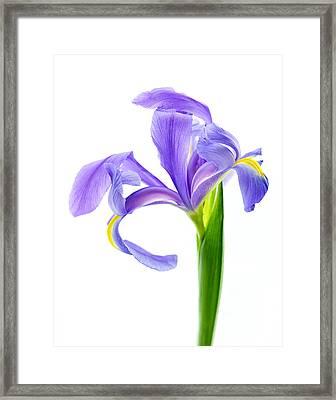 Iris Take A Bow Framed Print