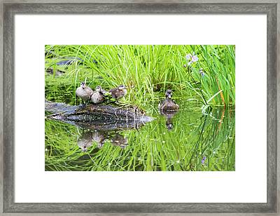 Iris Versicolor And Wood Duck Family Framed Print