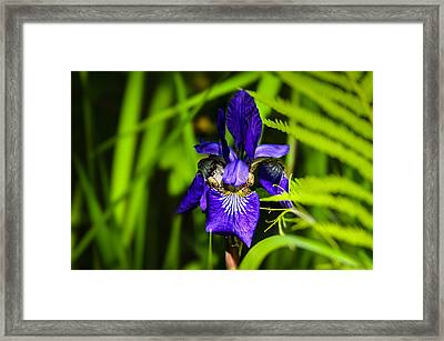 Framed Print featuring the photograph Iris Versicolor by Mark Myhaver