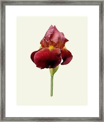 Framed Print featuring the photograph Iris Vitafire Cream Background by Paul Gulliver