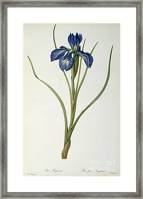 Iris Xyphioides Framed Print by Pierre Joseph Redoute