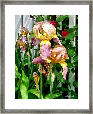 Irises By Picket Fence Framed Print