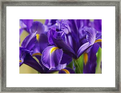 Irises, Close View, California Framed Print by Marc Moritsch