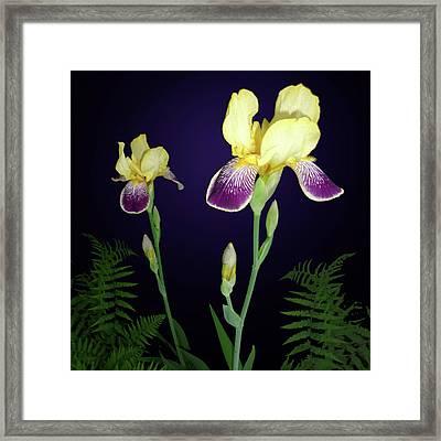 Irises In The Night Garden Framed Print by Tara Hutton