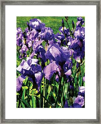 Irises Princess Royal Smith Framed Print by Susan Savad
