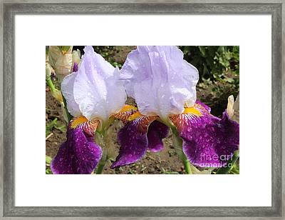 Irises Sparkling With Rain Droplets Framed Print