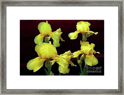 Framed Print featuring the photograph Irises Yellow by Jasna Dragun
