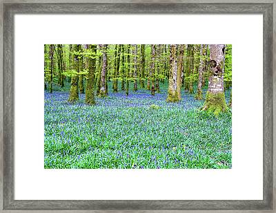 Irish Bluebell Woods - Lissadell, Sligo - New Leaves On The Trees And With A Carpet Of Blue Under Framed Print