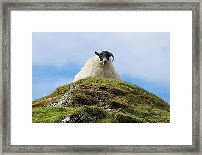Irish Sheep - King Of The Hill Framed Print